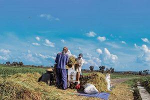 Sejumlah Warga Melakukan Panen untuk komoditas padi