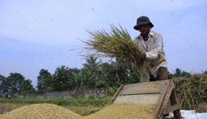 Jaga Produksi Padi, Tapanuli Tengah Mampu Kendalikan Kepinding Tanah