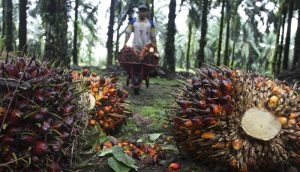 File picture of a worker collecting palm fruit at a plantation in Langkat