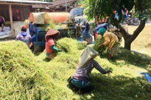 Produksi padi di Kabupaten Semarang bulan ini akan tercapai sekitar 23 ribu ton gabah kering giling